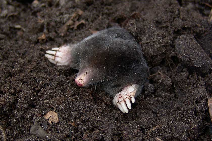 Picture of Mole Coming out of the ground