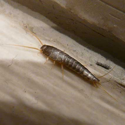 Silverfish on Floor