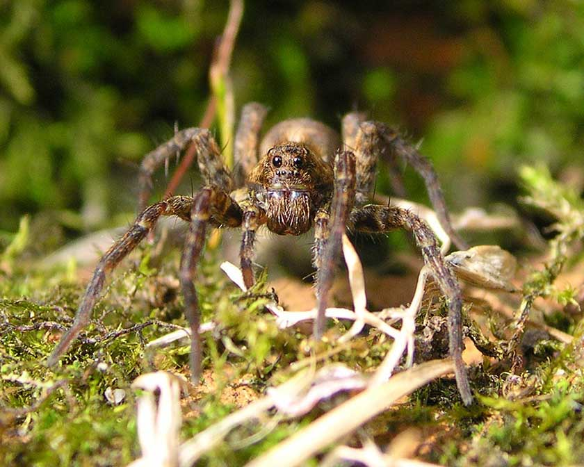 What a Wolf Spider Looks Like