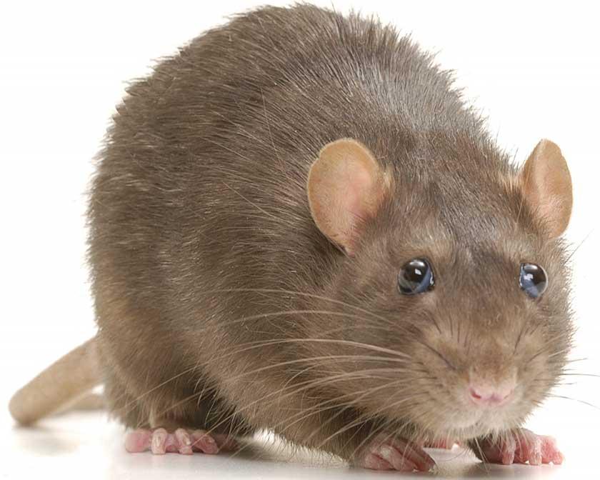 Brown norway rat close up