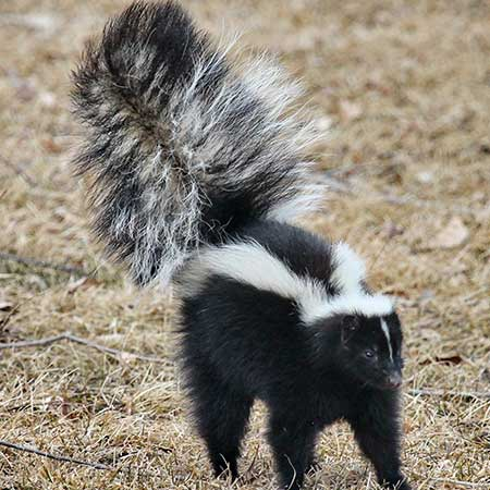 Get Rid of Skunks (Top of Page Image)