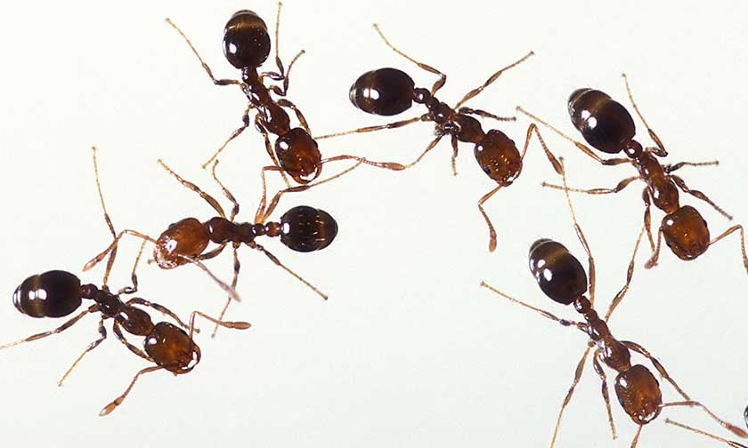 Group of six fire ants