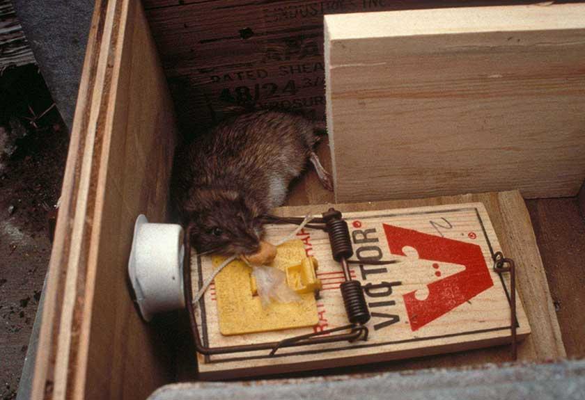 Mechanical Rat Trap with Dead Rat