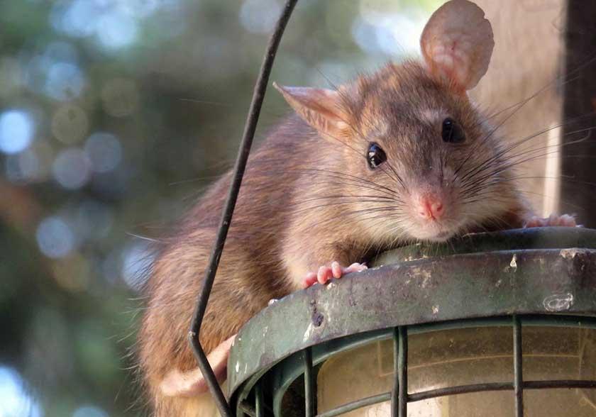 Roof Rat on Light