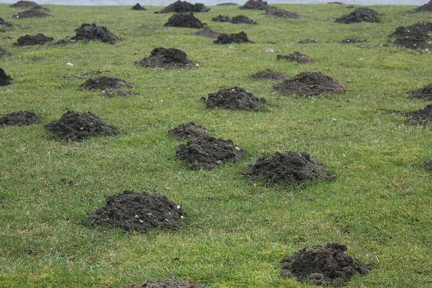 Tons of Mole Mounds in yard
