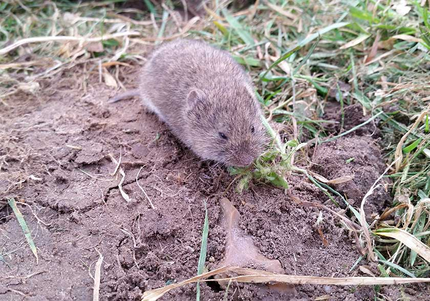 Vole in Yard