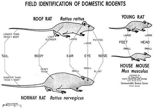 Rat vs Mouse Identification Chart