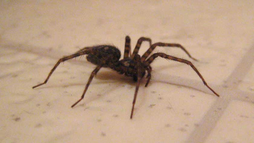 house spider on the floor