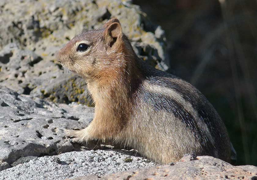 Picture of Chipmunk