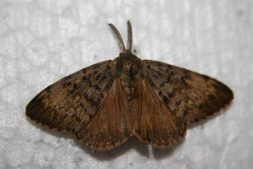 gypsy-moth-image