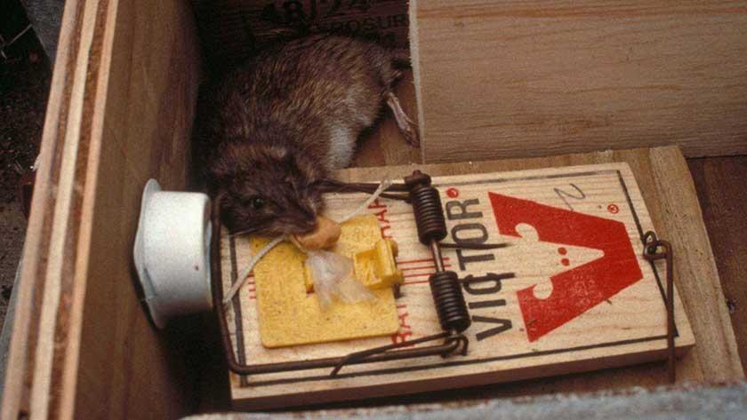 best rat traps