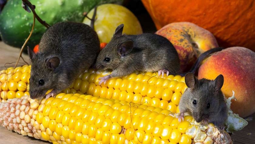 best-ways-to-get-rid-of-mice