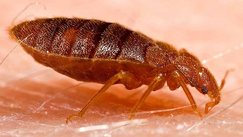 diatomaceous earth and killing bed bugs