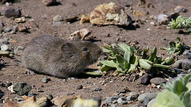 hot to get rid of voles