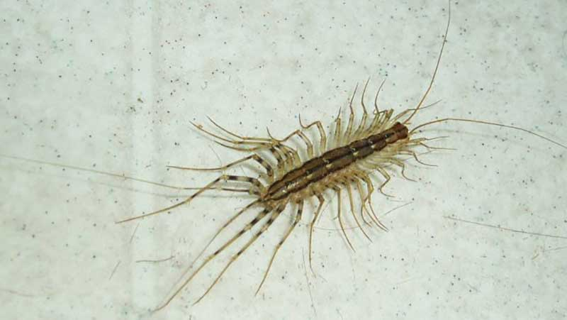 how to get rid of house-centipedes