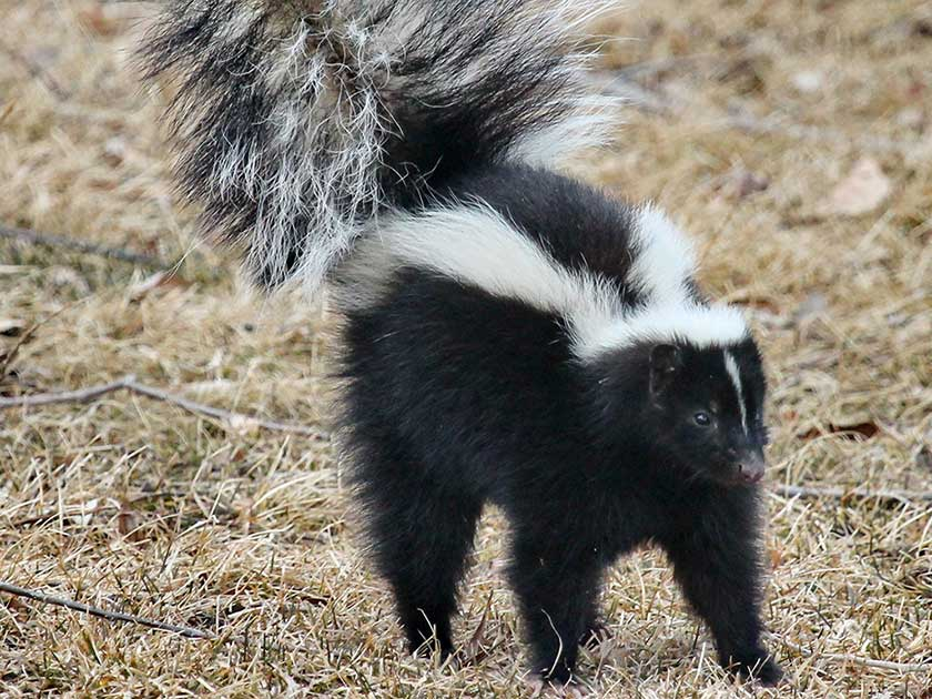 how-to-get-rid-of-skunks
