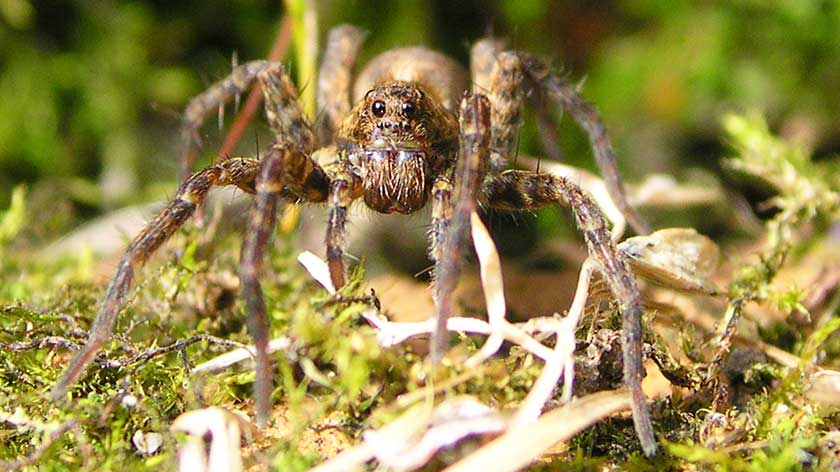how-to-get-rid-of-wolf-spiders