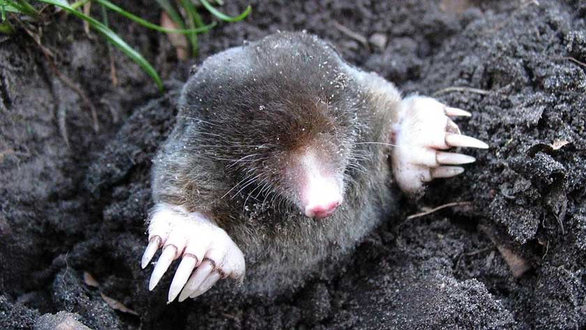 moles-in-the-yard