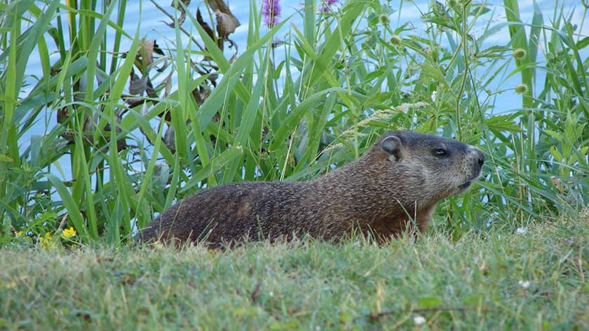 woodchuck-in-yard